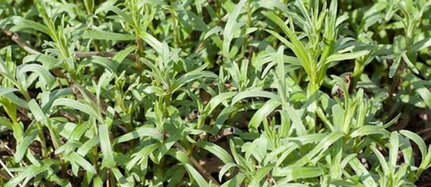 Estragonpflanzen