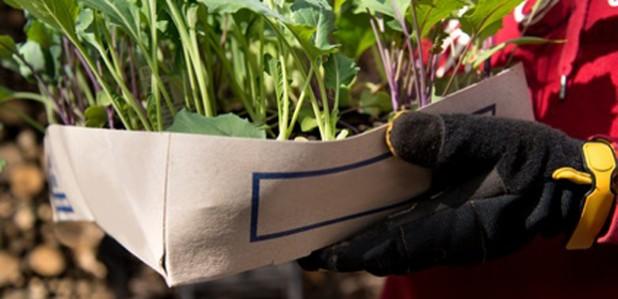 Kohlrabi anpflanzen