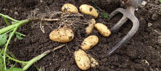 Kartoffel ernten