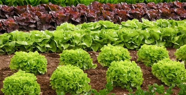 Salatsorten kurz vor der Ernte