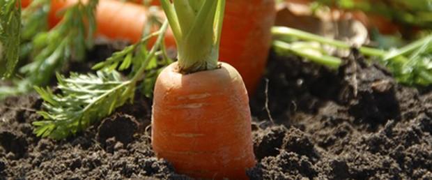 Karotten im Garten