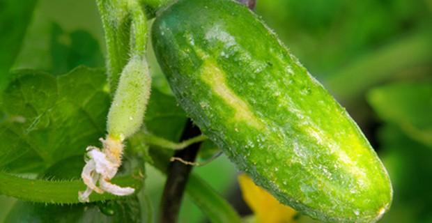 Gurke im Garten