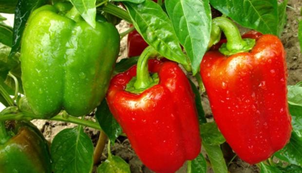 Paprika im Garten