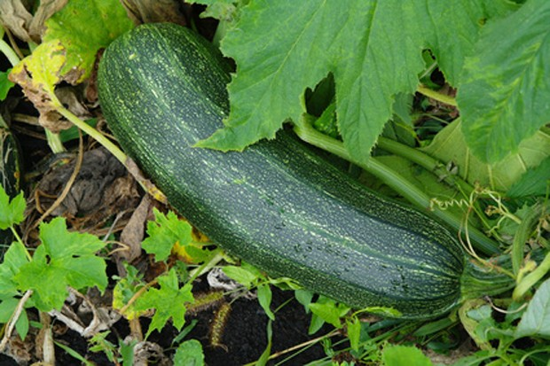 Zucchini im Garten