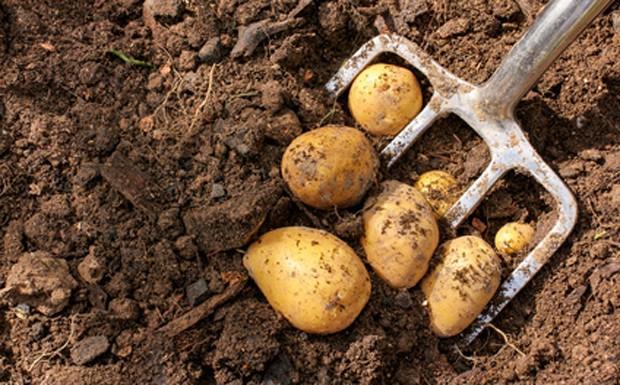 Kartoffeln im September