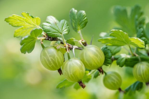 Obstgarten mit Stachelbeere