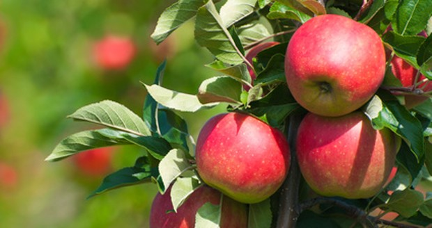 Frische Äpfel im eigenen Garten