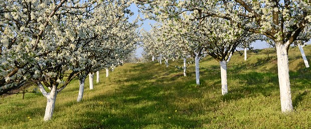 Weißanstrich bei Obstbäumen