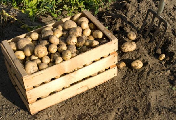 Kartoffeln frisch aus dem Garten