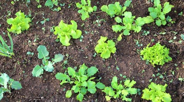 Gemüsegarten bepflanzen