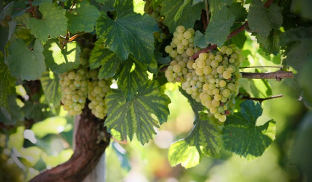 Weinregion Carnuntum