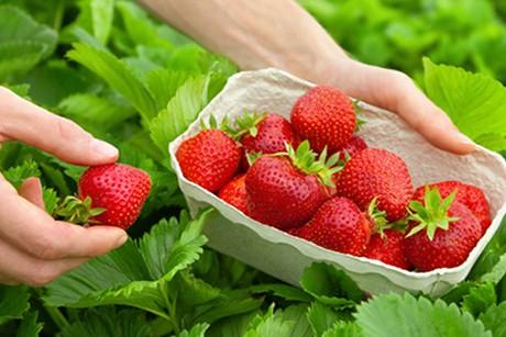 erdbeeren-fuer-den-vorrat.jpg
