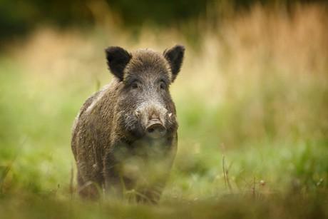 wildschwein.jpg