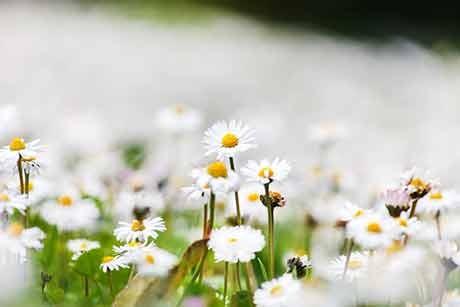ganseblumchen.jpg