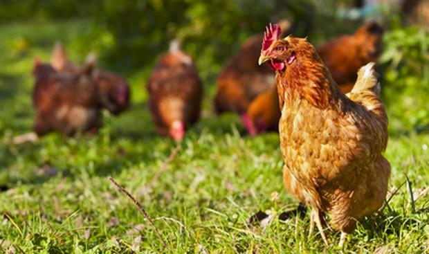 Freiland Hühner