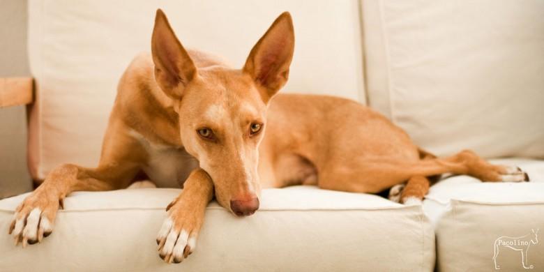 couch-podenco-84702c6f-bda3-4264-a199-34474214569e
